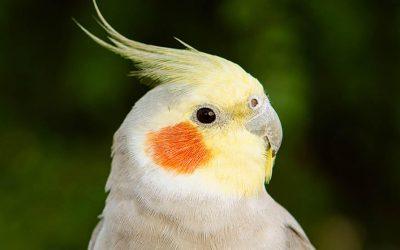 Jaka klatka dla papugi Nimfy? Jaką wybrać?